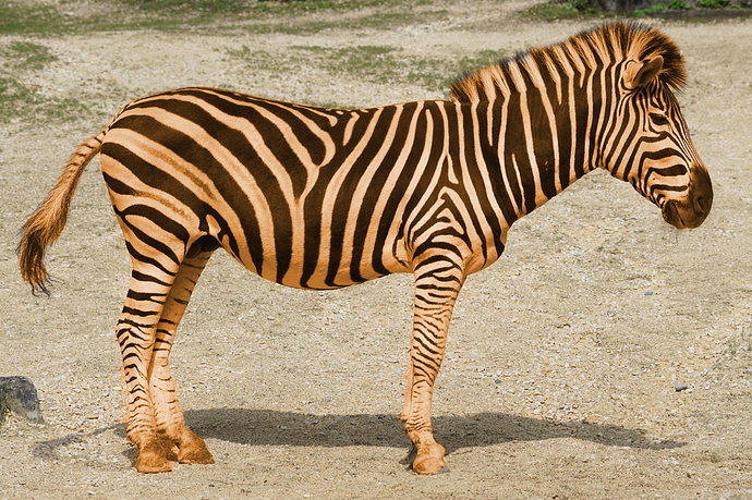 wildlife-mammal-fauna-savanna-zebra-vertebrate-595552-pxhere-tiger