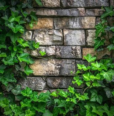 ivy-1395534_1280